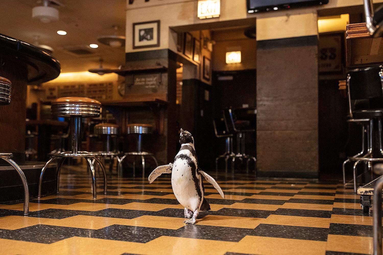 Пингвины из аквариума Shedd стали звездами Недели ресторанов в Чикаго