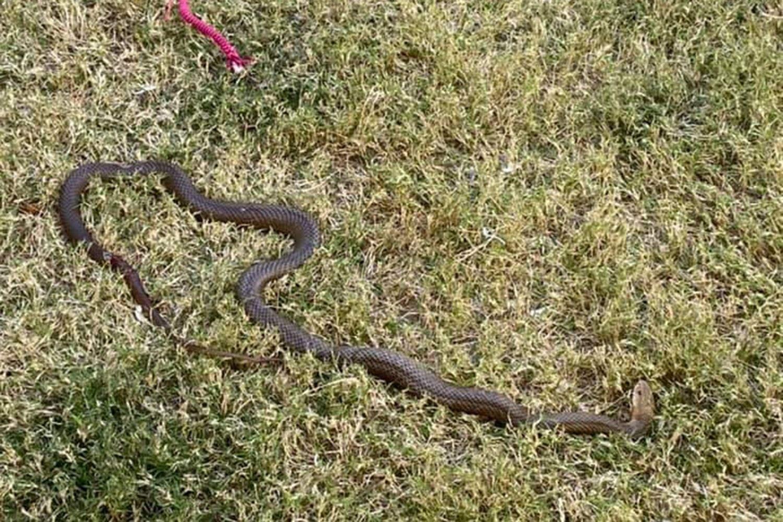 Собака-геройка врятувала свого брата від укусу змії: подробиці інциденту