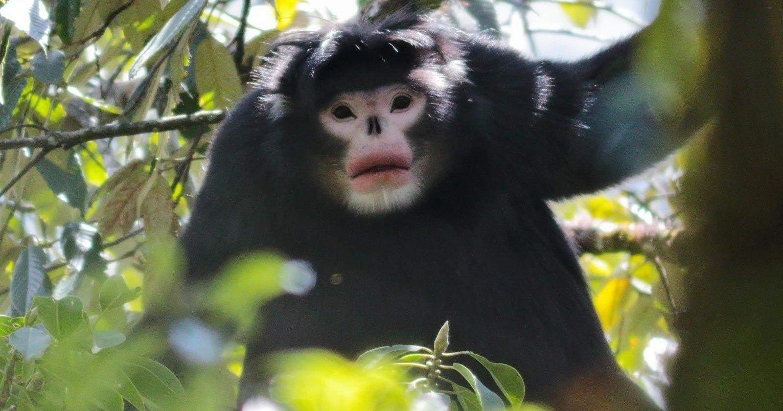 Бірманська мавпа