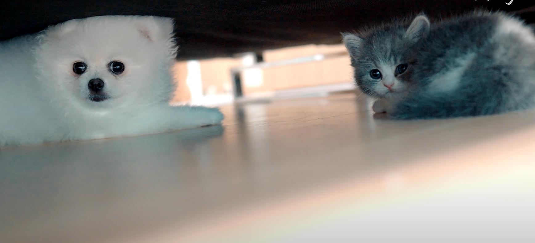 Вскоре кот и шпиц начали играть