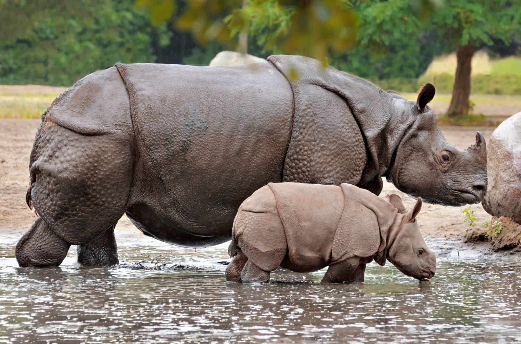 Яванський носоріг
