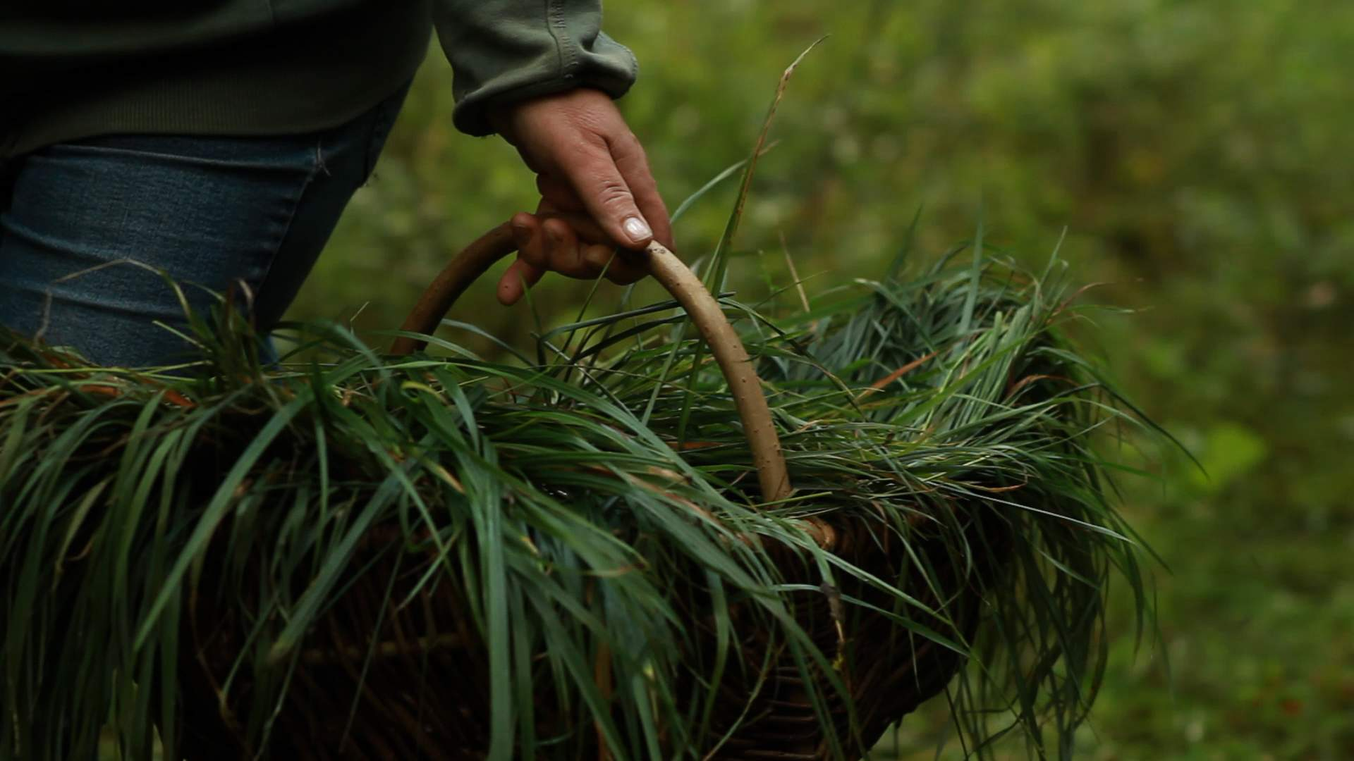 Збирання трави зубрівки