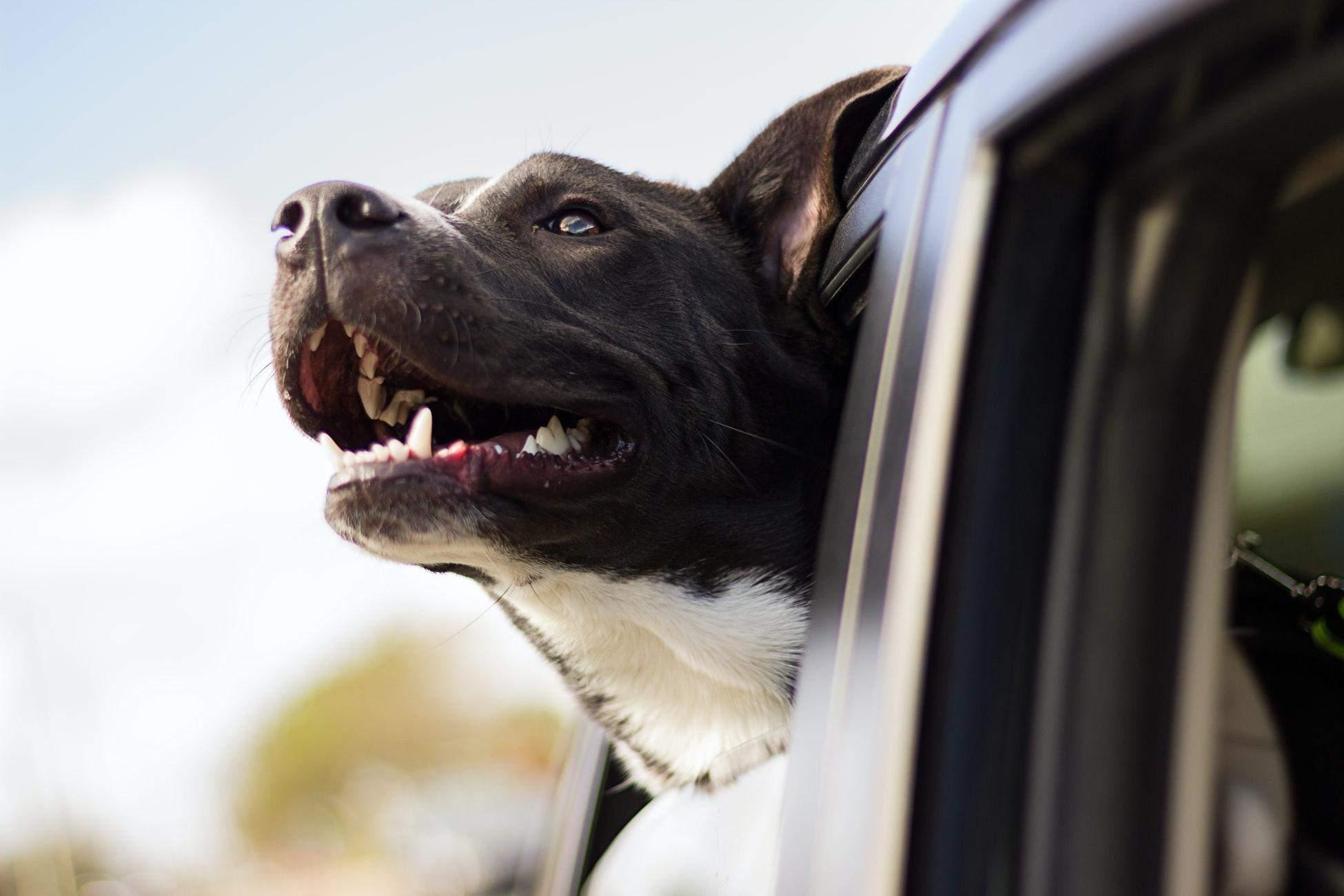 Не оставляйте собаку в машине даже с открытыми окнами