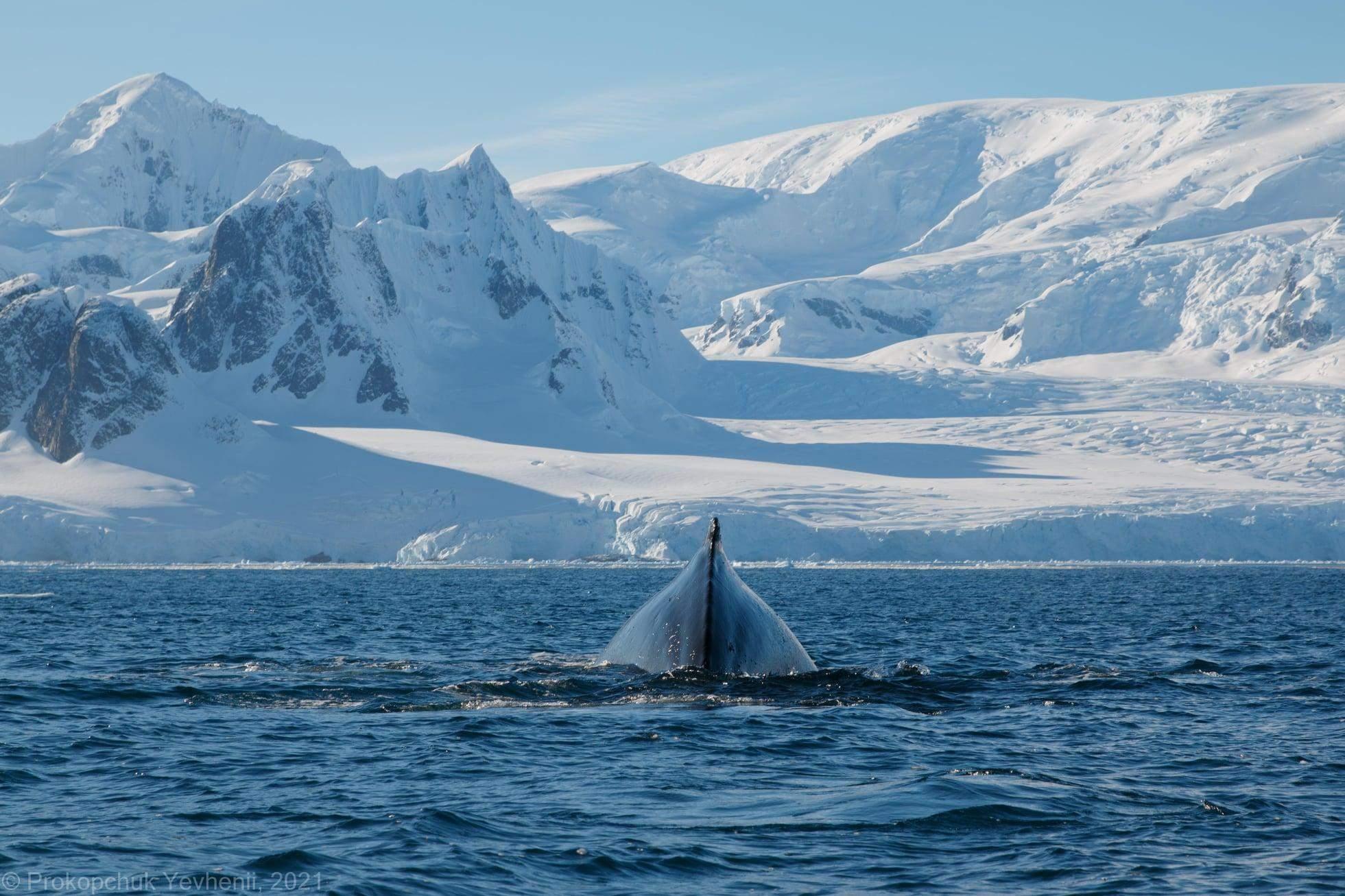 Українські полярники розбудити кита
