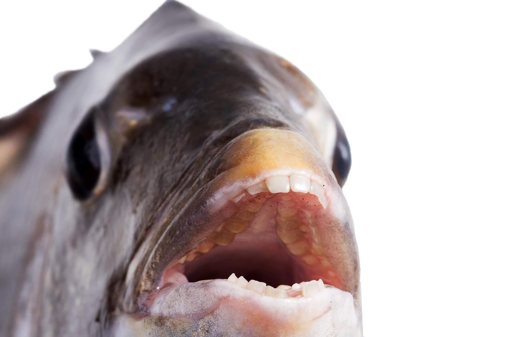 Ці окунеподібні риби мають дивовижні зуби