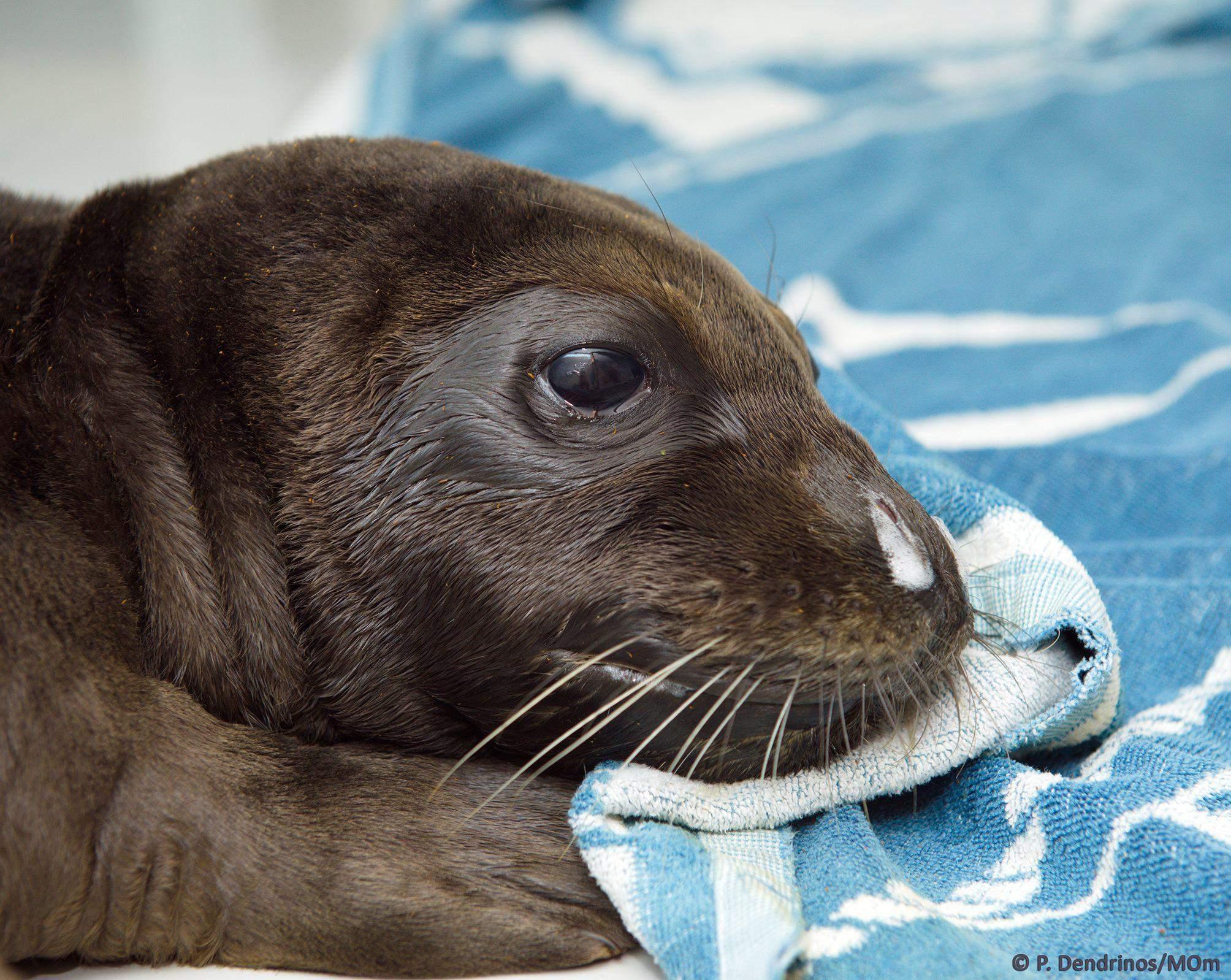 Костіс тюлень