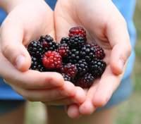 Чим корисна та шкідлива для здоров'я ожина