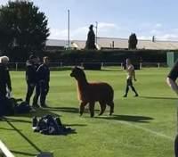 Альпака вибігла на поле під час футбольного матчу в Англії та бігала за гравцями: кумедне відео
