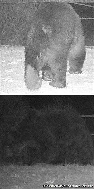 В Чернобыль вернулись медведи после столетнего перерыва [Фото]