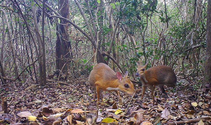 В'єтнамьскі оленьки миші-олені фото світ тварин