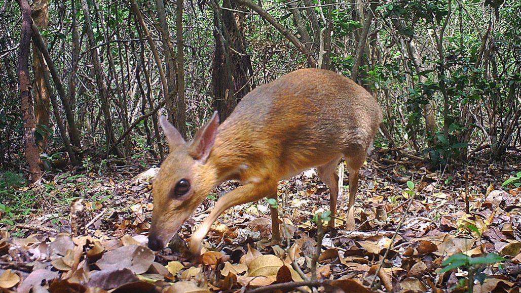 Миші-олені фото в'єтнамські оленьки