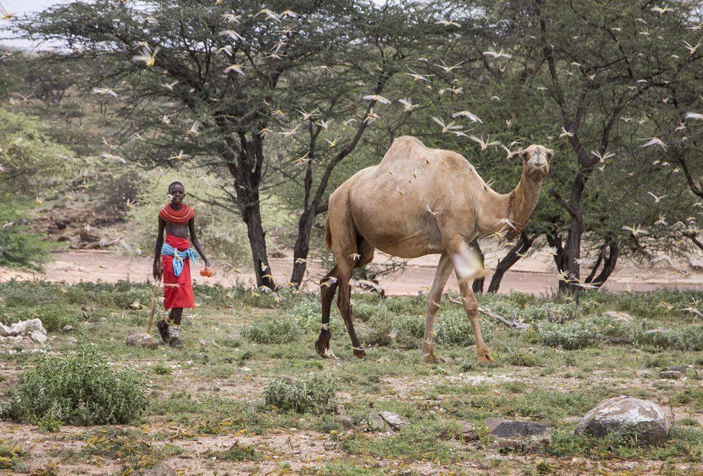 сарана африка