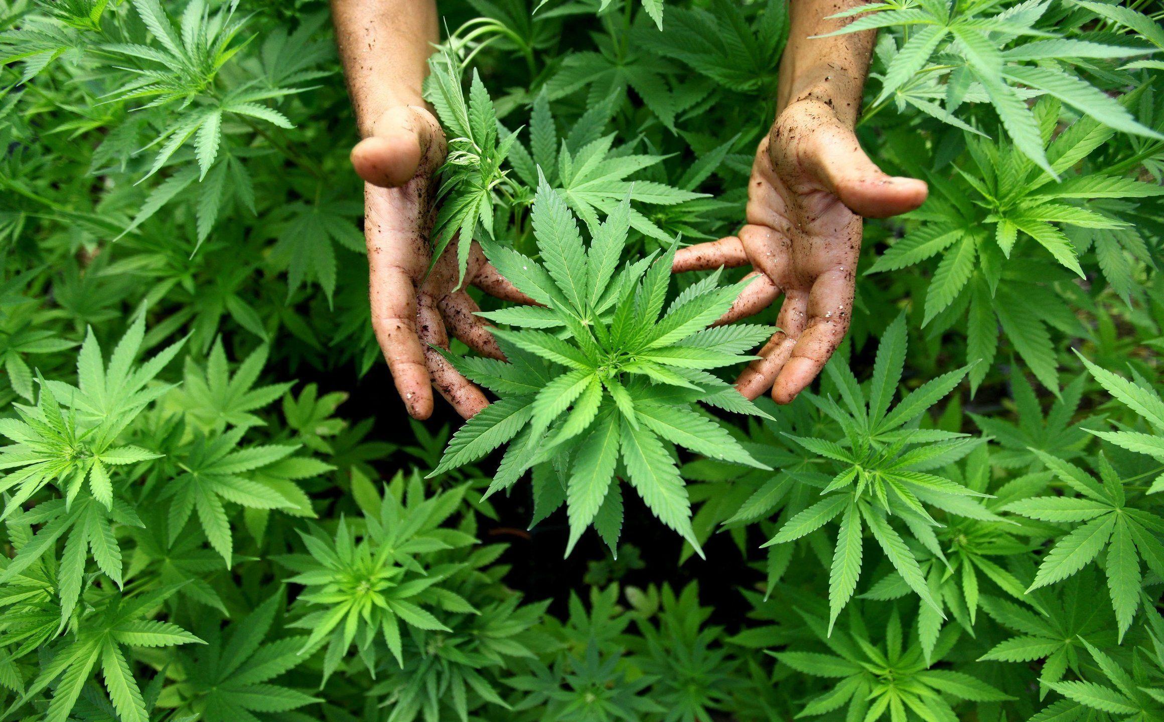 Как марихуана действует на животных гидропоника конопля своими руками