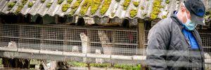 В Україні посилять моніторинг коронавірусу на норкових фермах
