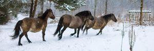 На Львівщині розводять нащадків рідкісних диких коней тарпанів: їх знищили у XX столітті