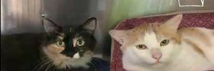 6 лап на двоих: особенные коты из приюта в США никогда не расстаются