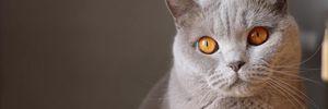 Усіх котів у Великій Британії хочуть мікрочипувати