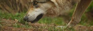 Увидеть мир глазами хищника: первая в истории съемка с нашейной камеры дикого волка-одиночки