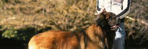 Порода собак леонбергер: все о ласковых и впечатляющих гигантах