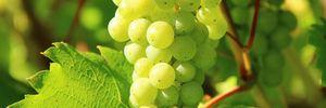 Вскоре соберут урожай первого органического винограда
