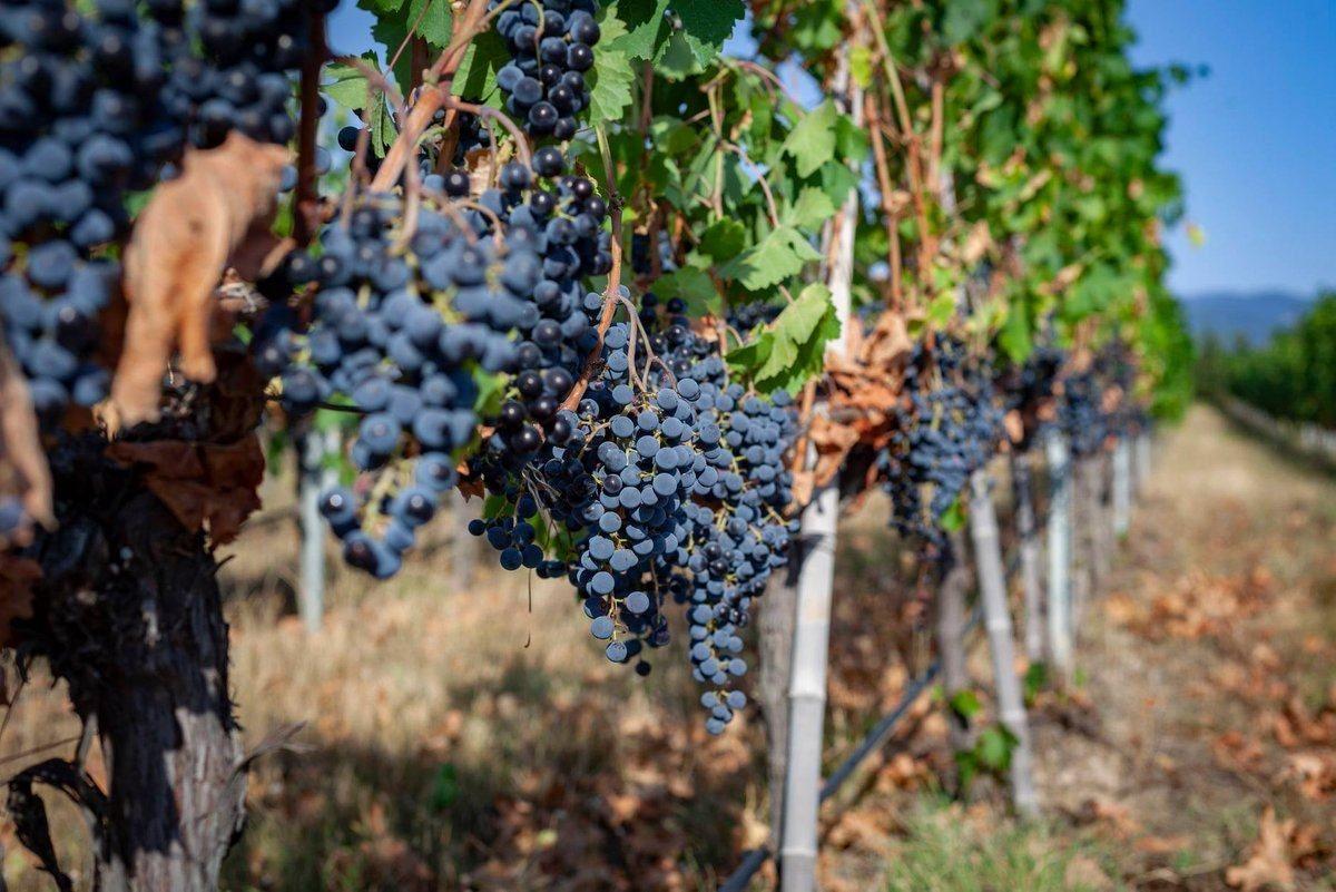 Варто бодай раз у житті потрапити у Грузію на збір винограду