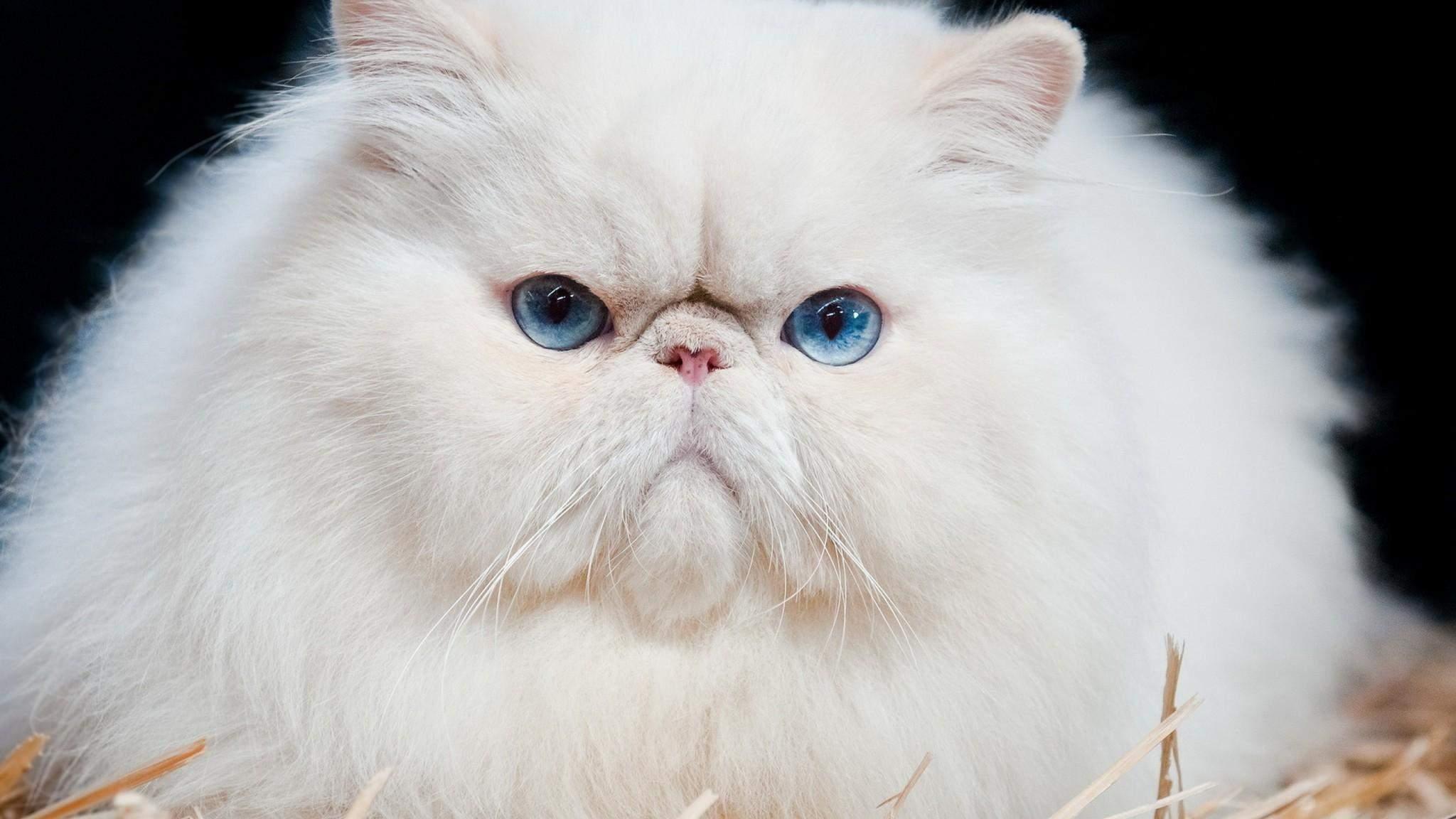 Коты-брахицефалы могут иметь довольно слабое здоровье