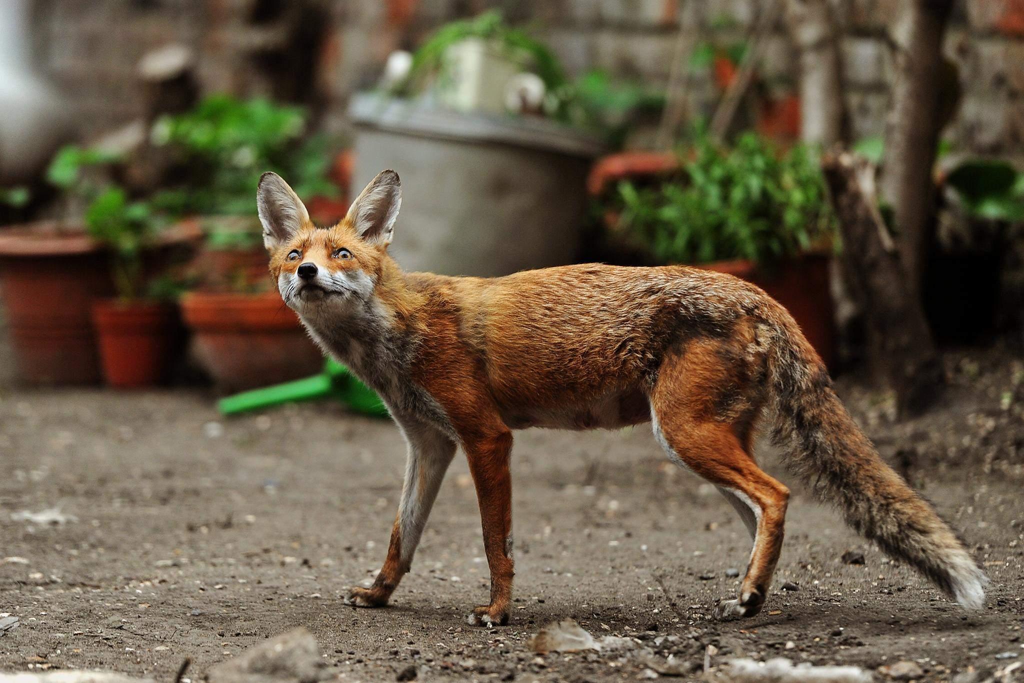 В лютому у лисиць настає сезон розмноження