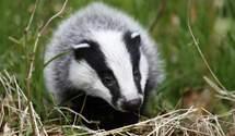 Зоозахистникы спасли от злоумышленников барсука, которым те торговали в интернете