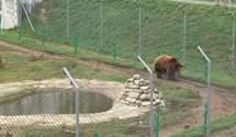 Як ведмеді готуються до зимової сплячки у притулку під Львовом: фото та відео
