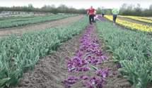 Тюльпанные поля на Буковине закрыты, цветы срывают и бросают прямо под ноги – видео