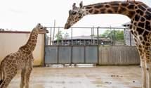 Вперше за 30 років: у зоопарку Франції народився рідкісний жираф – відео