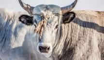Символ 2021 року – бик: що символізує тварина для українців