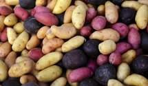 Урожай картоплі в Україні: статистика дуже завищена, – експерт