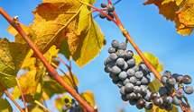 Как одно насекомое изменило весь винодельческий мир: губительная филлоксера