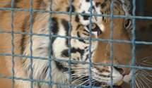 Мужчина, которого загрыз тигр, нарушил правила безопасности: новые детали трагедии