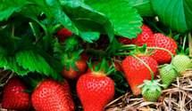 Смачна полуниця з високою врожайністю: у США вивели два нові сорти ягоди
