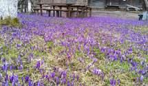 На Закарпатье зацвела Долина шафранов: фото