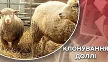 Первое успешное клонирование: почему состояние овцы Долли стало критическим