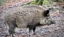 Дикие свиньи вредны как автомобили: невероятное открытие