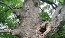 У Києві знайшли унікальний 400-річний дуб
