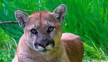 Била хищника руками: в США мать спасла 5-летнего сына от горного льва