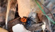 На Троєщині родина знайшла отруйного павука із Червоної книги