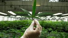 У Раді підтримали петицію про легалізацію марихуани