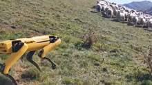 Робопса Spot научили пасти овец: забавное видео