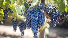 Виноробство: як правильно підготувати виноград