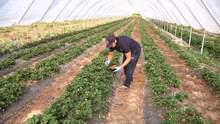 Полуниця у жовтні: на Івано-Франківщині фермер вирощує незвичні для регіону ягоди – фото, відео