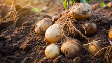 Лукашенко зібрав власний врожай картоплі та віддав ОМОНу, а от Путіну не дісталося