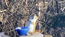 Білка з'їла несвіжу грушу, сп'яніла і стала зіркою мережі: кумедне відео