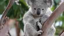 В Австралии коала пробралась в дом и вылезла на новогоднюю елку – курьезное видео