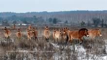 В Чернобыльской зоне лошади Пржевальсокого гибнут в ловушках браконьеров: фото 18+